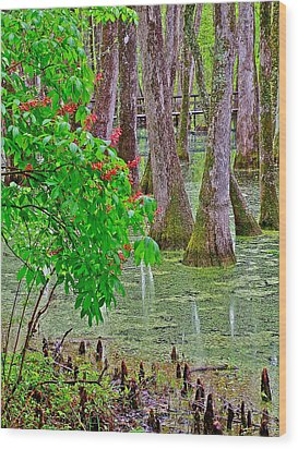 Bald Cypress And Red Buckeye Tree At Mile 122 Of Natchez Trace Parkway-mississippi Wood Print by Ruth Hager