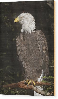 Bald Eagle  Wood Print by Brian Cross