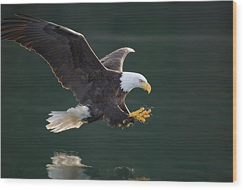 Bald Eagle Catching Fish Wood Print by John Hyde