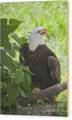 Bald Eagle Wood Print by Chris Dutton