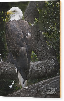 Bald Eagle Wood Print by David Millenheft
