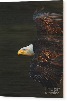 Bald Eagle In Flight Wood Print by Bob Christopher