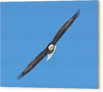 Bald Eagle In Flight Wood Print