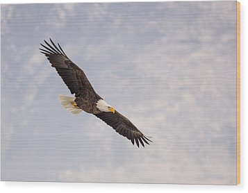 Bald Eagle In Full Extension Wood Print by Jeremy Farnsworth