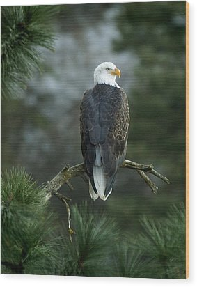 Bald Eagle In Tree Wood Print