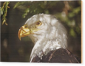 Bald Eagle Portrait  Wood Print by Brian Cross