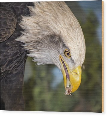 Bald Eagle Snacks Wood Print by Bill Tiepelman