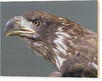 Bald Eagle Wood Print by Steve Archbold