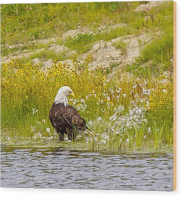 Bald Eagle  Wood Print