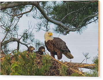 Bald Eagle With Eaglets  Wood Print by Everet Regal