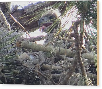 Bald Eagles Chick Wood Print by Zina Stromberg
