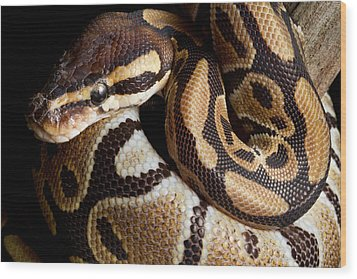 Wood Print featuring the photograph Ball Python Python Regius by David Kenny