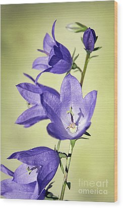 Balloon Flowers Wood Print by Tony Cordoza