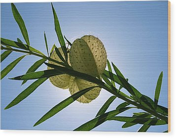 Wood Print featuring the photograph Balloon Plant by Kathleen Scanlan