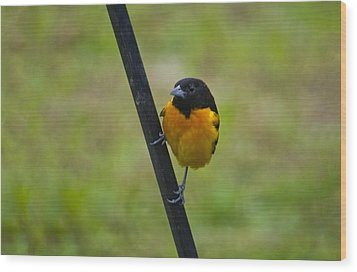 Baltimore Oriole On Pole Wood Print by Shelly Gunderson