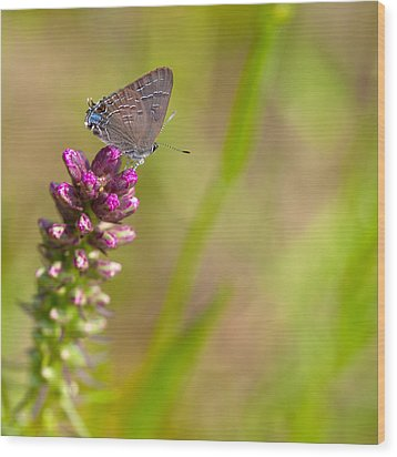 Banded Hairstreak Butterfly Wood Print