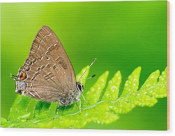 Banded Hairstreak Butterfly Wood Print by Photography  By Sai