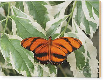 Banded Orange Longwing Butterfly Wood Print by Judy Whitton