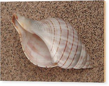 Banded Tulip Shell Wood Print
