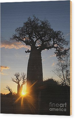 baobab from Madagascar 6 Wood Print by Rudi Prott
