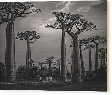 Baobab Highway Wood Print