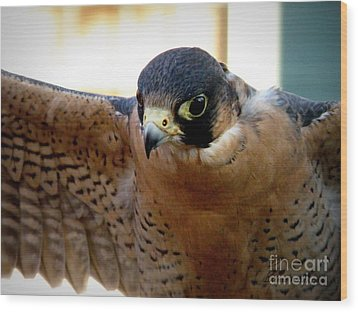 Barbary Falcon Wings Stretched Wood Print