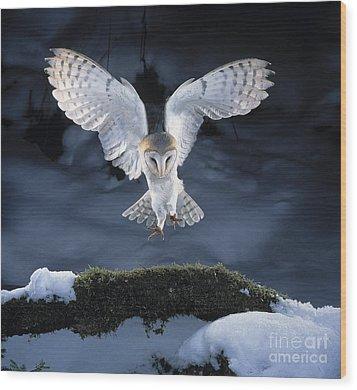 Barn Owl Landing Wood Print by Manfred Danegger