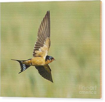Barn Swallow Wood Print by Carl Jackson