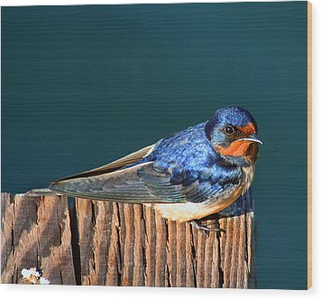 Wood Print featuring the photograph Barn Swallow Perching by Bob and Jan Shriner