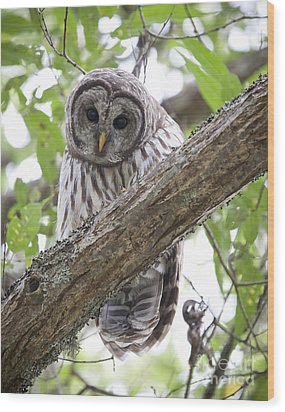 Barred Owl Wood Print by Chris Dutton