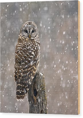 Barred Owl In A New England Snow Storm Wood Print by John Vose