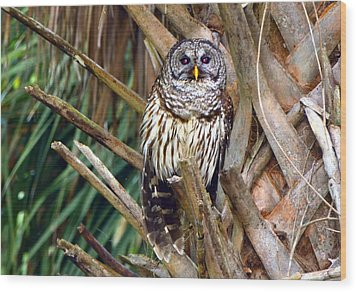 Barred Owl In Palm Tree Wood Print