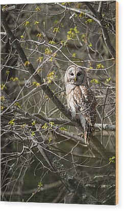 Barred Owl Portrait Wood Print by Bill Wakeley