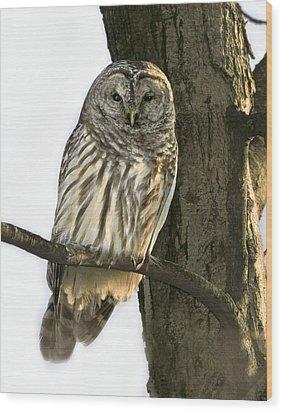 Barred Owl  Wood Print by Timothy McIntyre