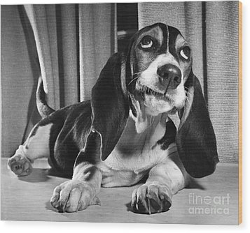 Basset Hound Puppy Wood Print by ME Browning