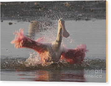 Bath Time - Roseate Spoonbill Wood Print