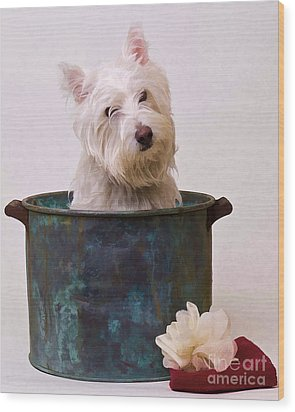 Bath Time Westie Wood Print by Edward Fielding