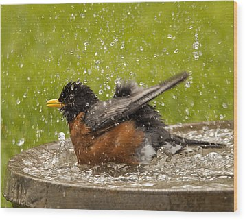 Bathing Robin Wood Print by Inge Riis McDonald