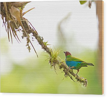 Bay-headed Tanager Wood Print by Brian Magnier