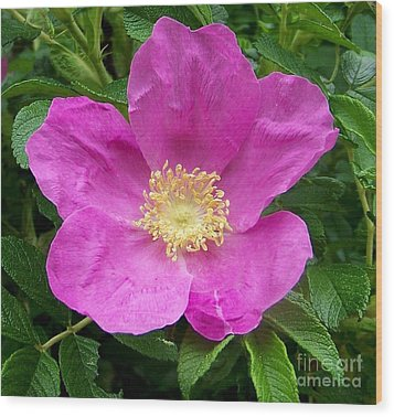 Pink Beach Rose Fully In Bloom Wood Print