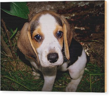 Beagle Puppy 2 Wood Print by Lynn Griffin