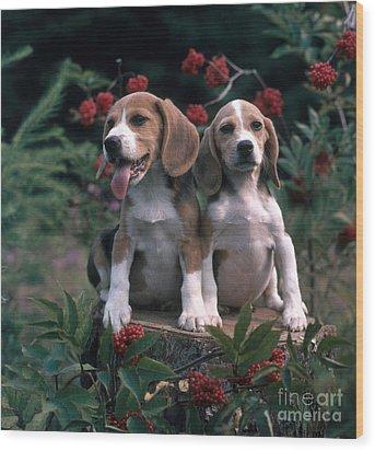 Beagles Wood Print by Hans Reinhard