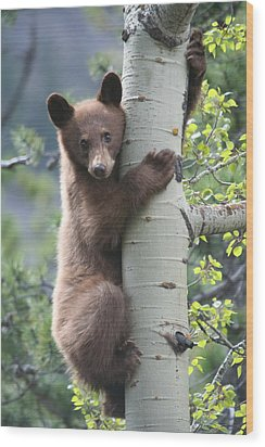 Bear Cub On Tree At Waterton Lakes National Park Wood Print by Jetson Nguyen