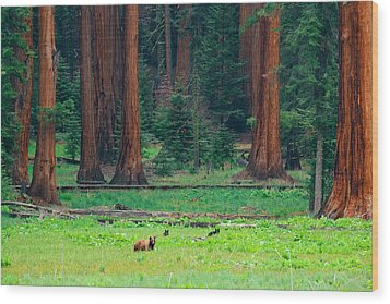 Bear In Sequoia National Park Wood Print