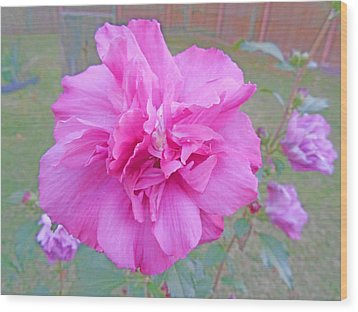 Beautiful Blooming Fuschia Rose Wood Print