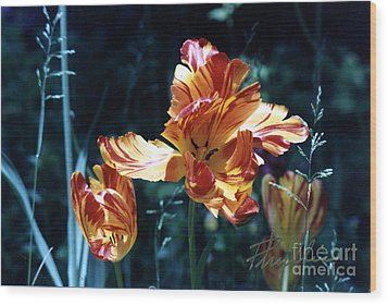 Wood Print featuring the photograph Gorgeous Tulip by Phyllis Kaltenbach