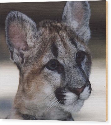 Wood Print featuring the photograph Beautiful Face-cougar Cub by Myrna Walsh
