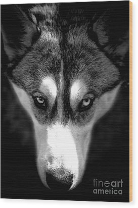 Beautiful Husky Wood Print