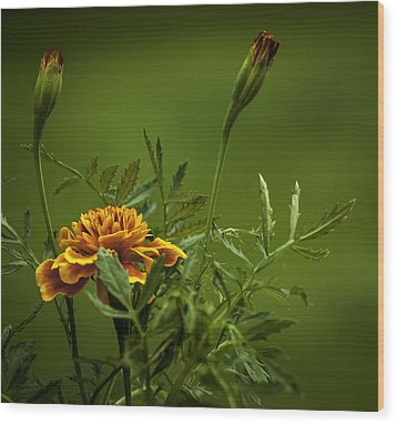 Beautiful Marigold Wood Print by Jean-Jacques Thebault