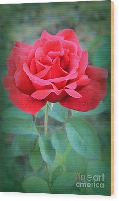 Beautiful Morning Rose  Wood Print
